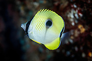 Chaetodon unimaculatus (Teardrop Butterflyfish)