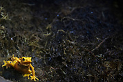 March 24, 2018; Omaha, NE, USA; A Panamanian Golden Frog in the Lied Jungle at Omaha's Henry Doorly Zoo and Aquarium.