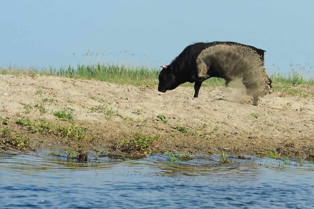 Cattle, Danube delta rewilding area, Romania