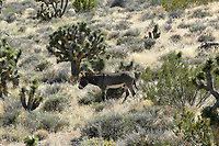 Red Rock Canyon - west of Las VegasWild Burros in the desert   Photo: Peter Llewellyn