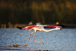 A greater flamingo ( Phoenicopterus ruber) runs over the water surface in preparation of taking off in flight, sunset, evening,  Le Camargue, Provence, France