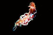 UNDERWATER MARINE LIFE WEST PACIFIC: Southwest SNAILS: Spanish Dancer Sea Slug, swimming Hexabranchia sanguinensis
