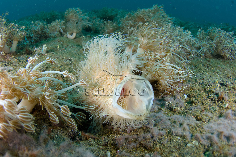 Hairy Frogfish, Antennarius striatus, yawning threat display, KBR, Lembeh Strait, Sulawesi, Indonesia.