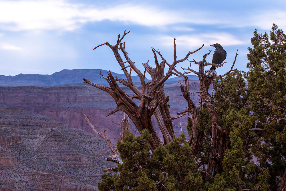 A crow in a tree at Guano Point, Grand Canyon, Arizona