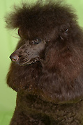 brown miniature poodle closeup