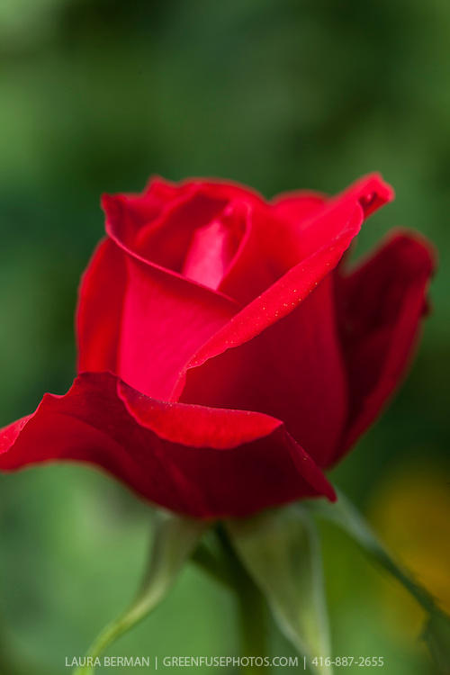 'John Waterer' hybrid tea rose