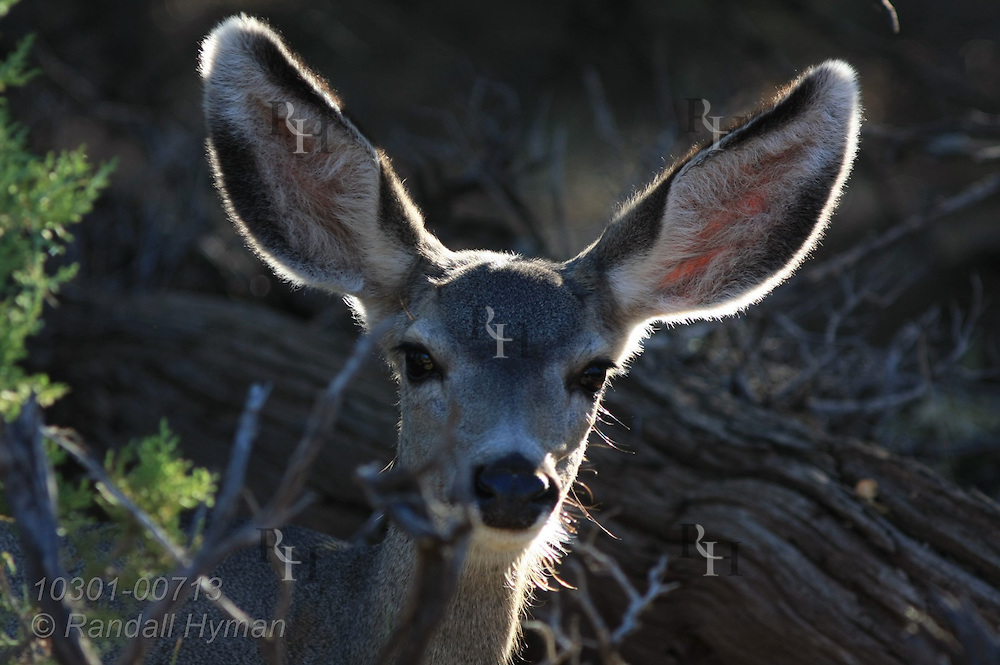 Mule deer graze in early morning in south rim forest at Mather Point; Grand Canyon National Park, Arizona.