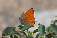 Lycaena rubidus monachensis - Ruddy Copper