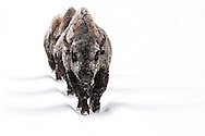 A trio of bull bison trudge through the snowy landscape of the Shoshone National Forest.  These ancient souls persevere through the most adverse of weather conditions with stoic acceptance.