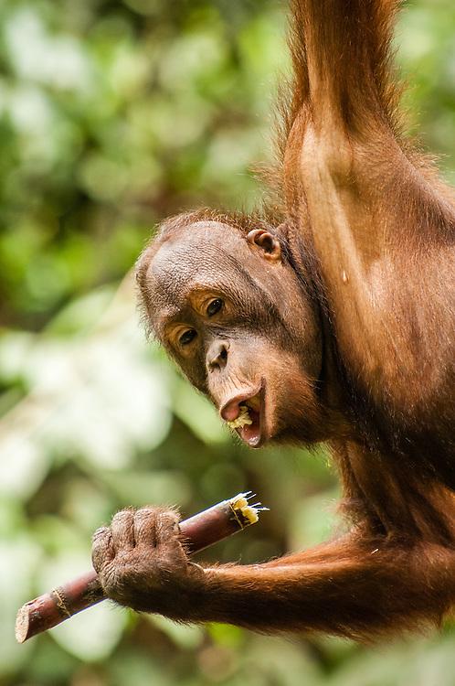 A portrait of Oscar, a seven-year old male orangutan (Pongo pygmaeus) at Sepilok Rehabilitation Centre, Sabah, Malaysia