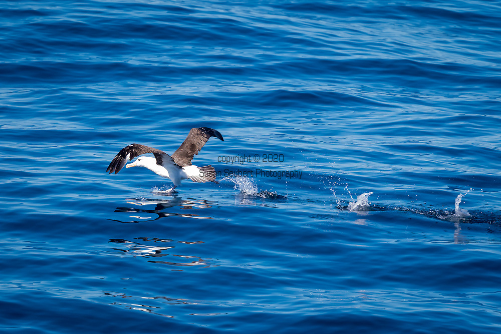 A black browed albatross takes off from the water near Cape Horn, Argentina