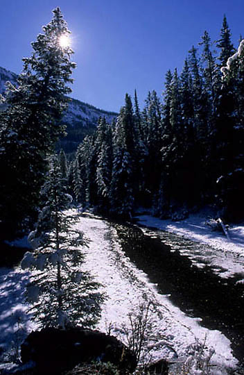 Yellowstone National Park, Snow covered pines, Pebble Creek.