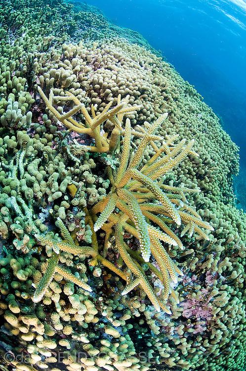 Staghorn coral (Acropora cervicornis), on the Cordelia Banks off Roatan, Honduras.