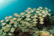 A school of Convict Tangs, Acanthurus triostegus, swims in Tiputa Pass, Rangiroa Atoll, French Polynesia