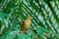 Clay-colored Thrush (Robin) [Turdus grayi] ; Gamboa, Panama