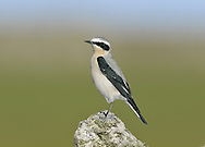 Wheatear Oenanthe oenanthe L 14-16cm. Open-country bird. Reveals white rump and black-and-white tail in flight. In other respects, sexes are dissimilar. Adult male has blue-grey crown and back, black mask and wings, and pale underparts flushed orange-buff on breast. Adult female has mainly grey-brown upperparts, darkest on wings. Face, throat and breast are pale orange-buff and underparts are otherwise whitish. 1st winter birds have grey- to buffish brown upperparts and buffish underparts. Voice Utters a sharp chak alarm call, like two pebbles knocked together. Song is fast and warbling. Status Locally common summer visitor to moors and open grassland.