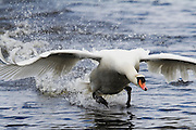 Close up view of a mute swan landing at Shapwick Heath's Decoy Lake.