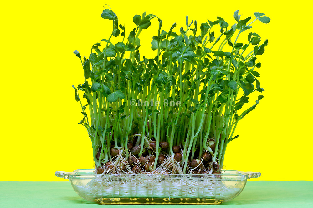 growing salad mustard cress