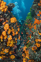 Swarms of schooling Anthias and orange Cup Corals, Divers...Shot in Indonesia