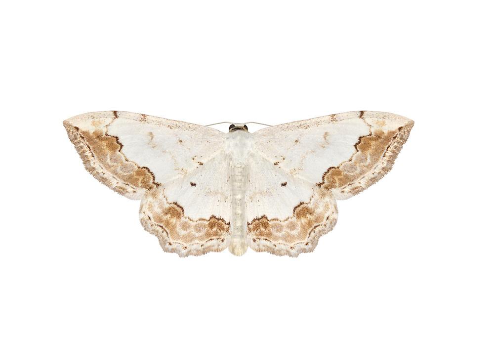 Lace Border - Scopula ornata<br /> 70.021 (1687)