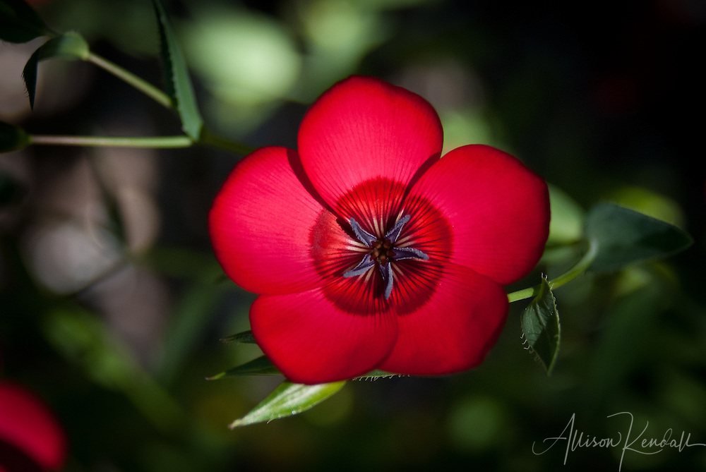 Macro of a vivid red scarlet flax flower