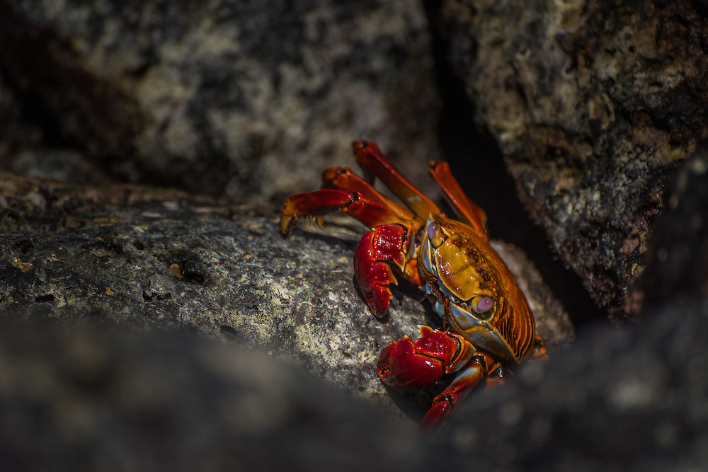 A Sally Lightfoot crab creeps across the rock in search of fresh seaweed and tiny insects, Santa Cruz, Galapagos, Ecuador.