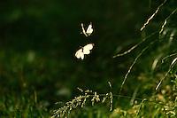 Altwarper Dune - Altwarper Binnendünen | Baumweißling, Baum-Weißling, Baumweissling, Aporia crataegi, black-veined white, Altwarp, Germany
