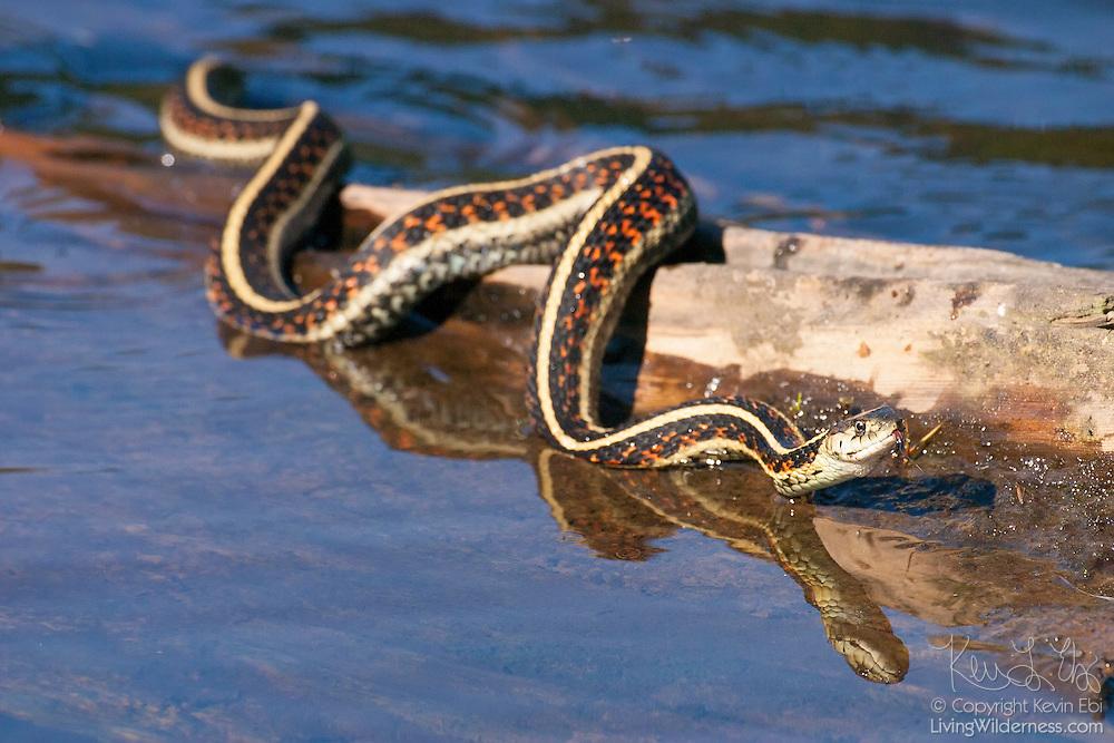 A common garter snake (Thamnophis sirtalis) slithers across a log on Lodge Lake near Snoqualmie Pass, Washington.