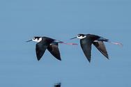 Pair of black-necked stilts in synchronized flight over water, © 2011 David A. Ponton