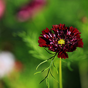 """""""Sunlight on Maroon""""<br /> <br /> Delightful flower and colors on a summer day!!<br /> <br /> Flowers and Wildflowers by Rachel Cohen"""