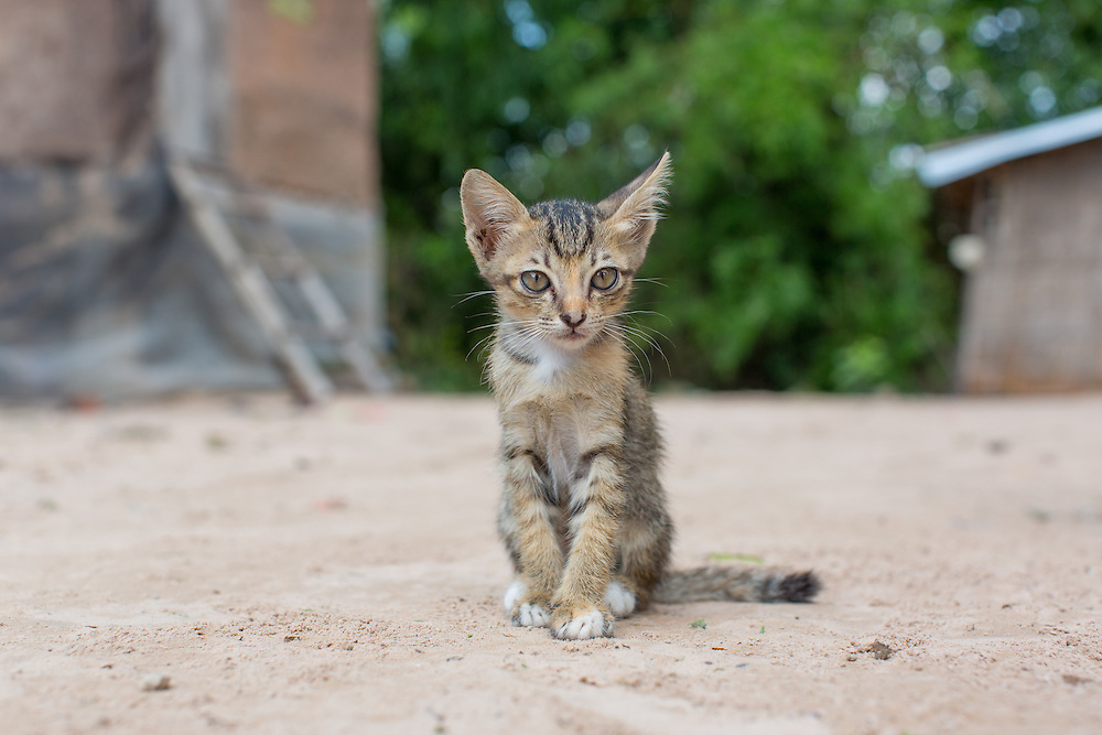 A stray kitten wanders around the property of Heifer recipient Sam Rey (55)