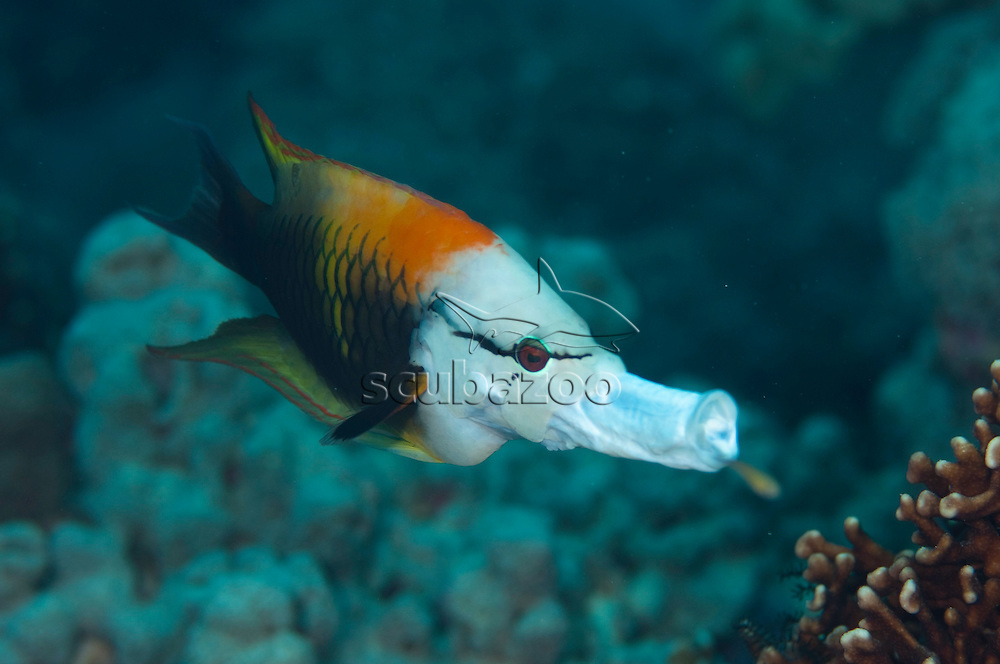 Slingjaw Wrasse, Epibulus insidiator, Layang Layang, Spratly Islands, Sabah, East Malaysia, South China Sea.