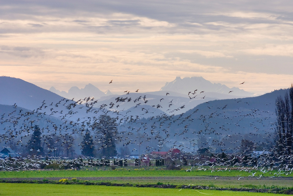 Snow Geese (Chen caerulescens) in the Skagit Valley Washington USA, North Cascades Range in the distance