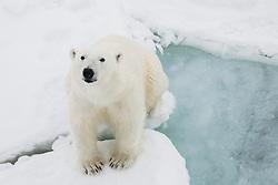 A polar bear adult (Ursus maritimus) sitting on the ice, Spitsbergen, Northwest Coast of the Svalbard Archipelago, Norway