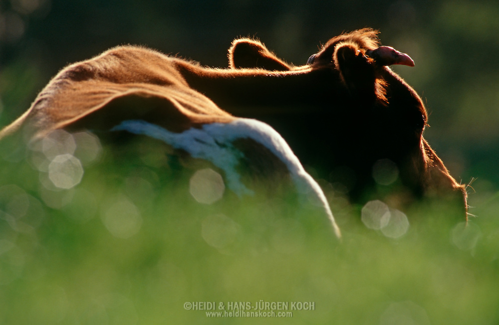 DEU, Deutschland: Hausrind (Bos taurus), Kuh ruht auf einer Wiese im Sonnenlicht, Rasse: Rotbunte, Norddeutschland | DEU, Germany: Domestic cattle (Bos taurus), cow resting on meadow in sunlight, race: Red Holstein, Northern Germany | ..