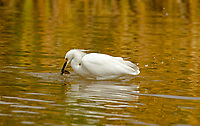 A Snowy Egret catches a little lunch in a local marsh.