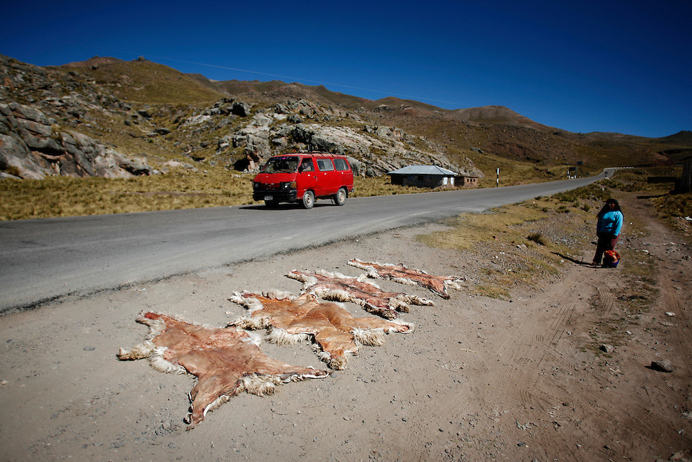 Alpaca skins curing in the sun in Rumichaca, Peru, (lat -13.1797°, long -73.5994°, Altitude 12,988 ft.) in the South-Central Sierra of the Andes.