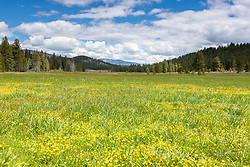 """Wildflowers at Sagehen Meadows 1"" - These little yellow wildflowers were photographed at Sagehen Meadows near Truckee, California."