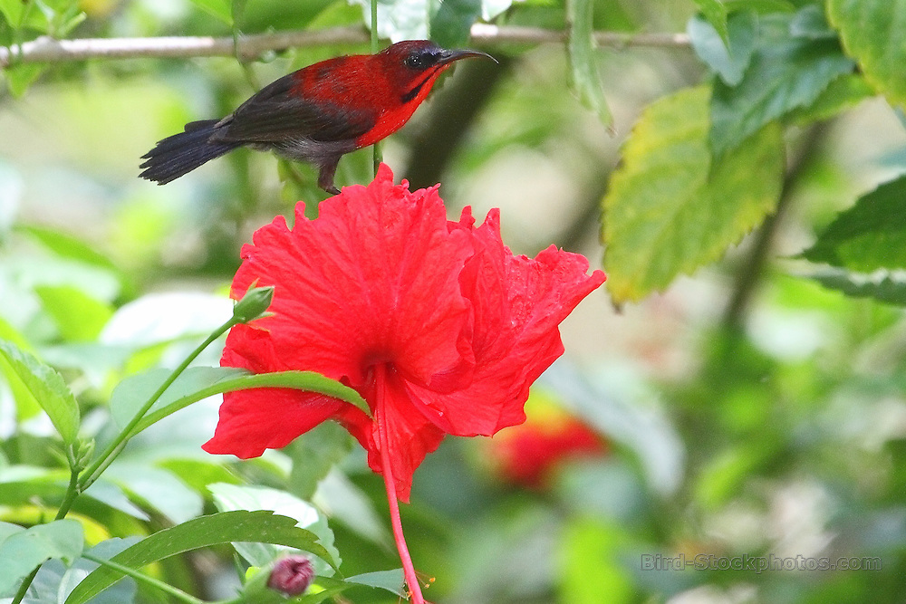 Crimson Sunbird, Aethopyga siparaja, Malayasia, by David Hoddinott