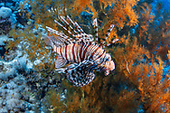 Red lionfish-Rascasse volante (Pterois volitans) of Red Sea, Egypt.