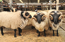 Pen of Rams's at the recent Mayo Connemara Blackface Ram Sale<br /> Pic Conor McKeown