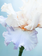 Iris 'Celebration Song' - tall bearded iris