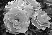 Black and White photo roses flower wall art. Close up of roses and a bee. Matted print, Limited edition. Fine art photography print. Santa Monica, CA.