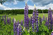 Lupinen (Lupinus), Waldrand, Wiese, Nordhessen, Hessen, Deutschland | lupinus, meadow, forest, flower, Hesse, Germany