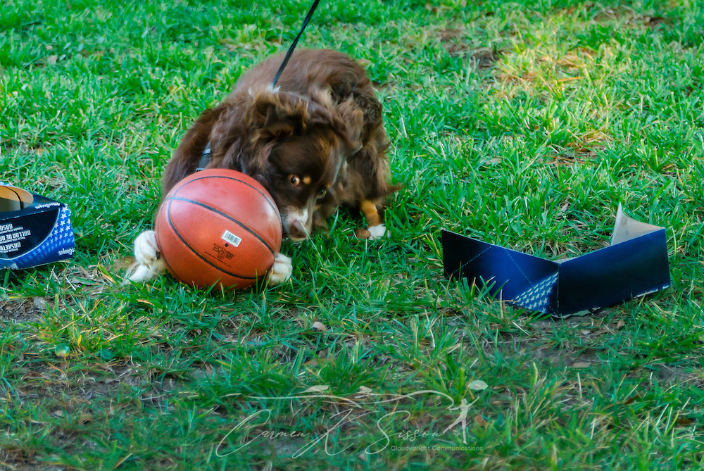 Cowboy, a six-year-old red tri Australian Shepherd, plays outside with a basketball, Oct. 5, 2014, in Coden, Alabama. (Photo by Carmen K. Sisson/Cloudybright)