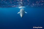 dwarf minke whale, Balaenoptera acutorostrata ( subspecies ), inside Ribbon Reefs, Great Barrier Reef, Australia ( Coral Sea / Western Pacific Ocean )