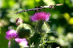 26 August 2008:  Swallowtail butterfly on a thistle bush. (Photo by Alan Look)