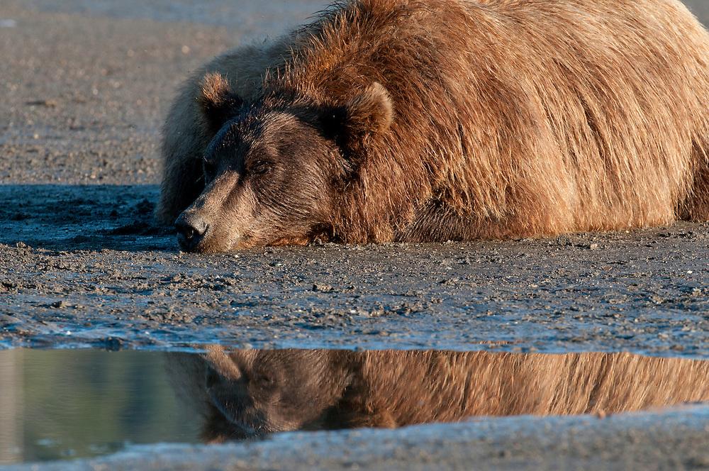 Brown bear (Ursus arctos) resting on tidal flat in Lake Clark National Park, Alaska