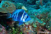 Indigo hamlet, Hypoplectrus indigo, Turneffe Atoll, Belize, Central America ( Caribbean Sea )