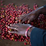 Coffee cherries are graded during a Starbucks Origin Experience visit to Dukendakawa Cooperative in the mountains of Rwanda. Photographed on Tuesday, May 2, 2017.  (Joshua Trujillo, Starbucks)